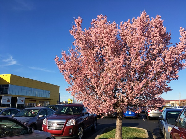 イケアの梅の花