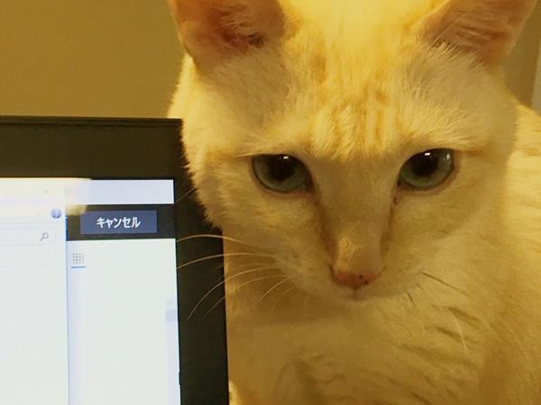 パソコンで掻く猫