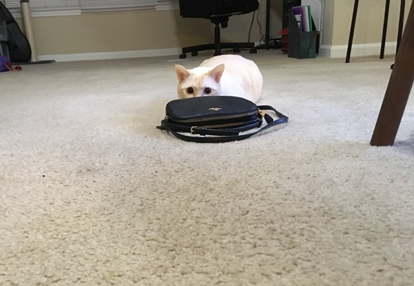 鞄に隠れる猫