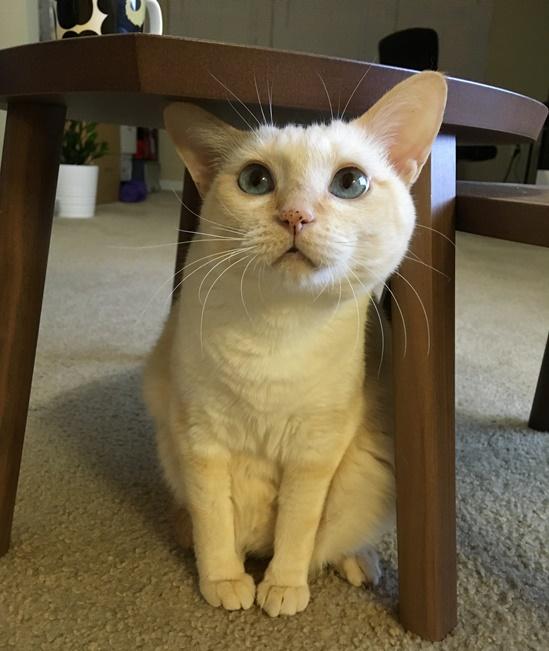 卓袱台の下の猫