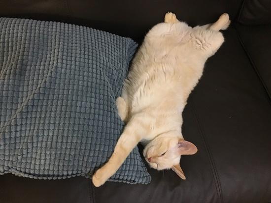 ソファ大好き猫
