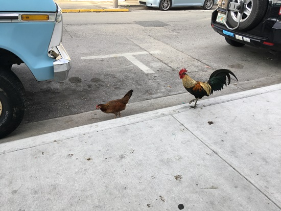 キーウェストの鶏