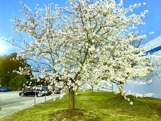 アメリカの桜