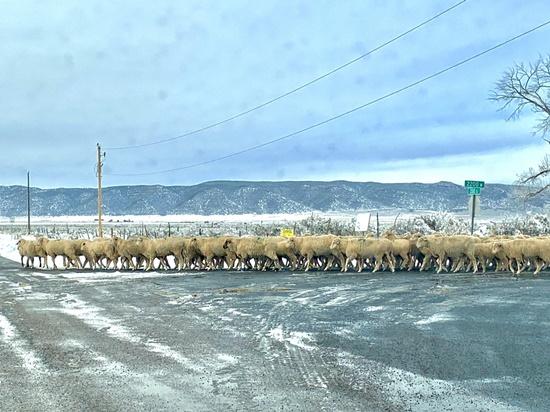 アリゾナの羊の群れ