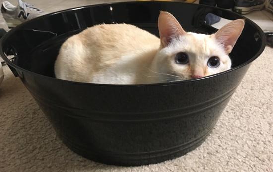 桶の中に入る猫